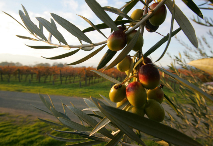 FILE - In this Nov. 30, 2004 file photo, Coratina olives hang from a tree at the Round Pound Estate with vineyards in the background in Rutherford, Calif. Olive oil production in the U.S. is steadily growing. The domestic industry, with mostly high-end specialty brands, has gone from 1 percent of the national olive oil market five years ago to 3 percent today. To know a good oil from another, simply take a small sip, then blowing out through your upper teeth. This is the test that tells. A tour of the processing rooms is interesting, and depending on the time of year, you can see how the olive oil is pressed. Adding to the stop at Round Pond, is a tour of their wine cellars and naturally a tasting. The family owned business is one of the newest estates to be developed. Officially arriving on the scene in 2007, this grow establishment is making a great reputation for itself. It is designed to produce wines that are a balanced blend of artisan techniques and cutting-edge technology. Hand-sorting twice and attention to details in the fermenting and aging process gives the wine at Round Pond its distinctive characters. width=